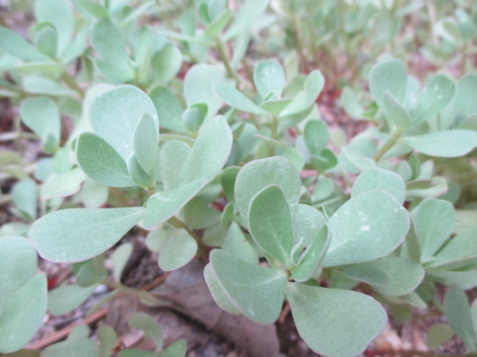 Purslane just sprigs so far due to late rains at my house.