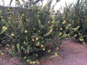 Membrillo (Quince) trees heavy with fruit at Mission Garden Tucson, near A-Mountain