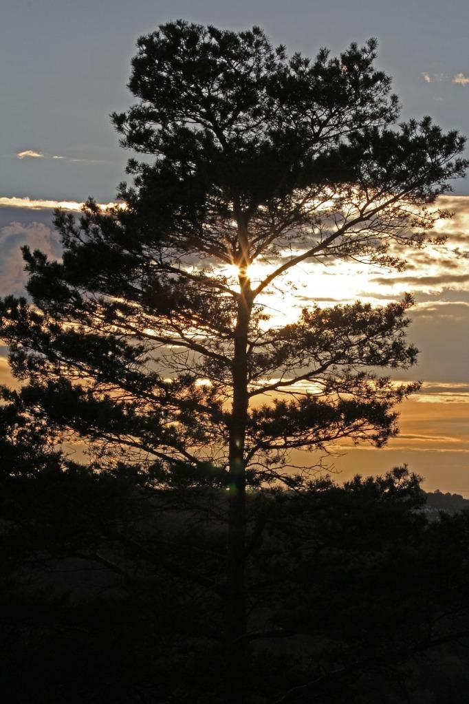 pine 544503_1280