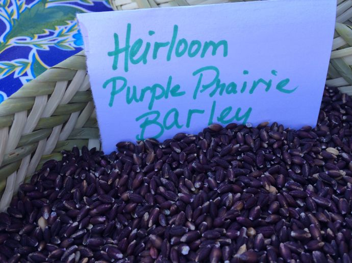 Beautiful purple prairie barley--an heirloom originally from Tibet