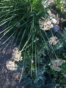 Allium tuberosum AMAP c_4761