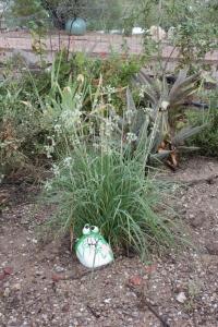 Allium tuberosum AMAP IMG_4590
