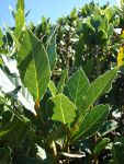 Laurus_nobilis_leaves_004