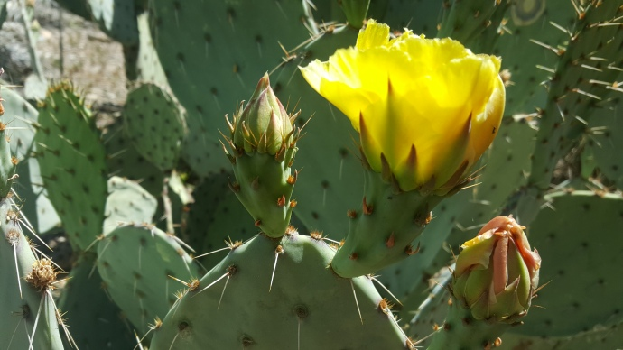 Prickly Pear Cactus flowers are a fleshy, vegetal garnish. Opuntia engelmannii