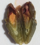 Cross-section of staghorn cholla flower bud showing stamens and ovules (MABurgess)