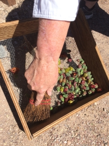 De-spining cholla buds at Mission Garden Workshop (MABurgess)
