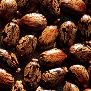 Ricinus communis seeds