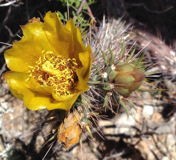 Staghorn cholla (Cylindropuntia versicolor) flower, bud and ant protector