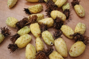 ferocactus fruit 1090