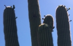 This is the third bloom of saguaros this season--with pollination may give another fruit harvest
