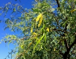 A new wave of mesquite flowers and green pods promise a second harvest this season.