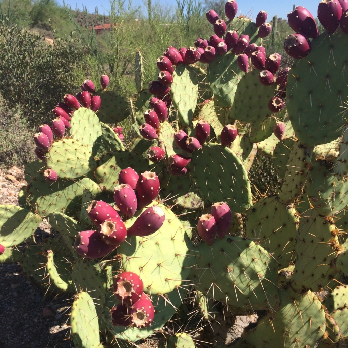 Opuntia engelmannii in full ripening fruit--but not ready yet!