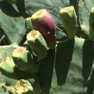 Opuntia lendheimeri alba barely turning pink--more promises...