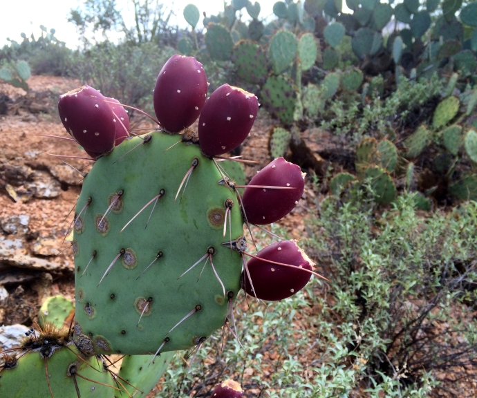 Prickly pear fruit in August monsoon ready to harvest