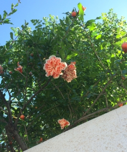 Peeking over the wall of Cordoba House in Tucson's historic neighborhood is a double flowered pomegranate (MABurgess photo)