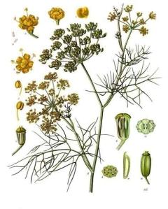 fennel-foeniculum-vulgare-kohlers-medizinal-pflanzen-148