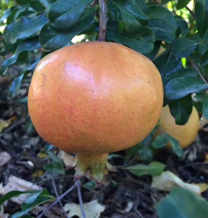 Brought by the Padres to Baja Arizona during the Mission Period, this desert-adapted Sonoran White Pomegranate can continue to feed us visually, nutritionally, esthetically (photo MABurgess)