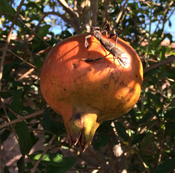 Prepare to share your plentiful crop of Sonoran White Pomegranate with other frugivorous creatures. True bugs can be pests. No prob--damage is limited. (MABurgess photo)
