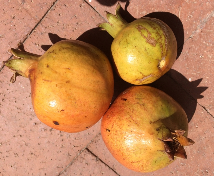 Let your Sonoran White Pomegranate fruits remain on the tree until you see a rosy blush--then you know they are getting sweeter!