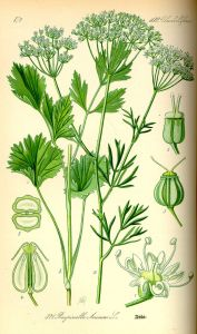 anise-illustration_pimpinella_anisum