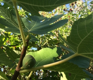 Heirloom Sosa-Carrillo fig (a Padre Kino introduction) from Mission Garden now producing in my yard (MABurgess photo)