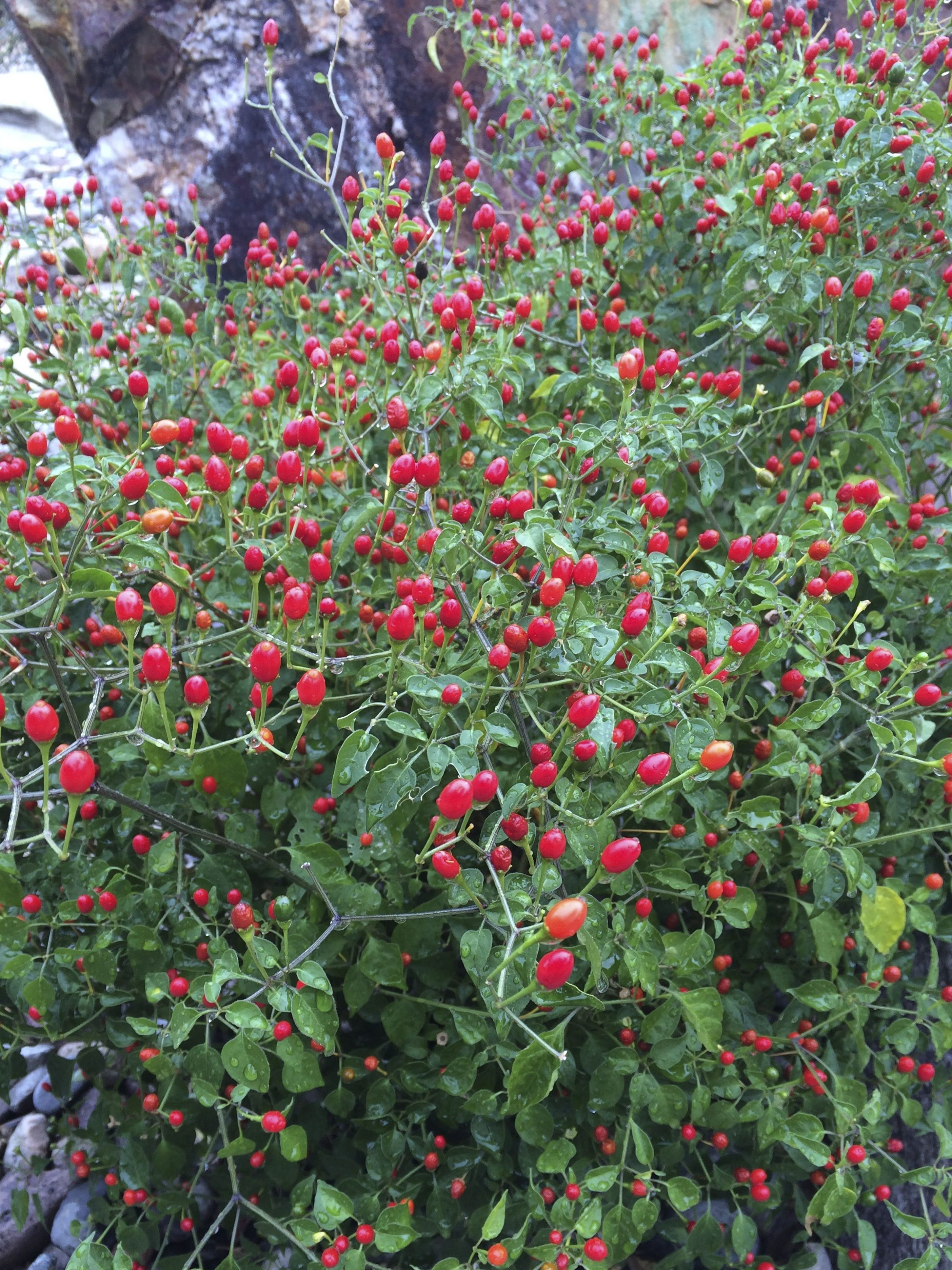 Chiltepin pepper from the wild, growing at Tohono Chul Park (Burgess photo)