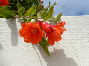 pomegranate-soule-flowers