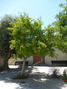 soule-pomegranate-mature-tree