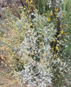 encelia-farinosa-bur-0091-web