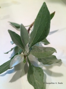encelia-leaves-2825-web