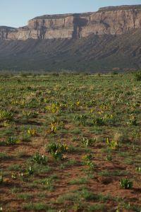 Wild rhubarb on sandy soil in Paradox Valley, western CO (JRMondt photo)