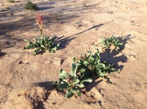 Wild rhubarb emerging in ancient dune soil, Avra Valley , southern AZ (MABurgess photo)