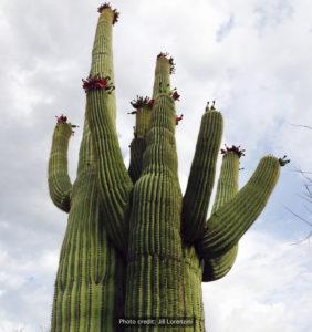 Fruiting-saguaro-JL-rwm-282x300
