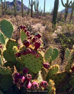 Prickly-pear-cactus-ripe-tunas-JL-rwm-235x300
