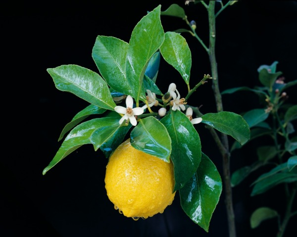 citrus lemon tree 0l2