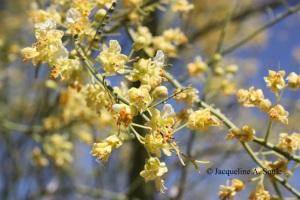 palo verde flowers 1702783