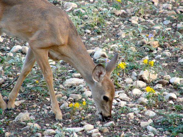 deer white tail yearling pixabay 1604701