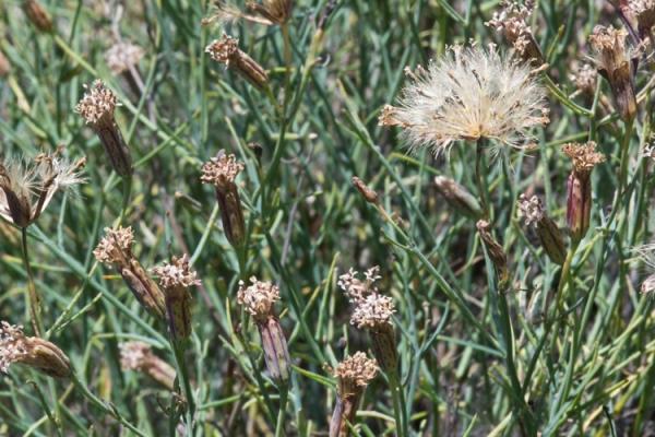 porophyllum gracile calflora 1710