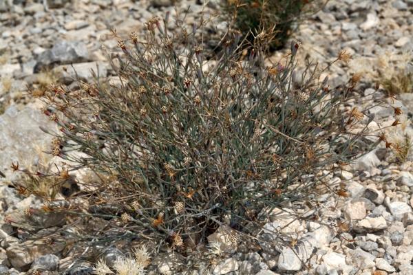 porophyllum gracile calflora 1801