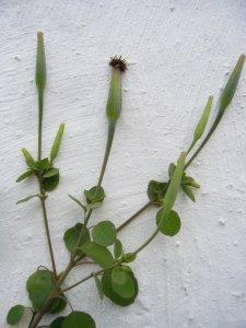 porophyllum ruderale calflora 2535