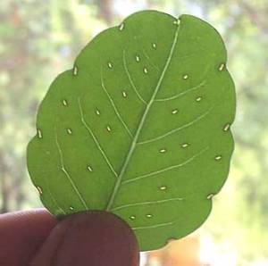 porophyllum ruderale glands wiki free