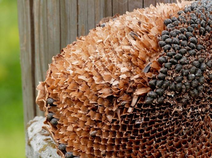 Helianthus seed head pixabay 020