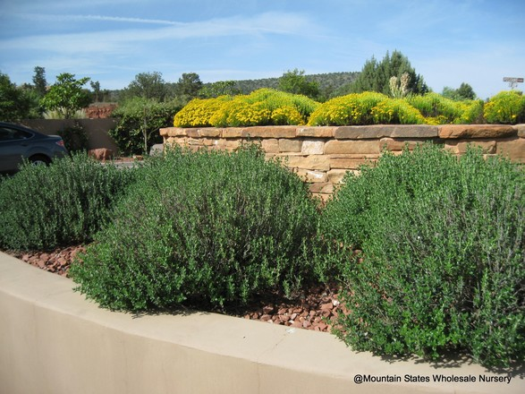 Teucrium chamaedrys and Chrysactinia mexicana