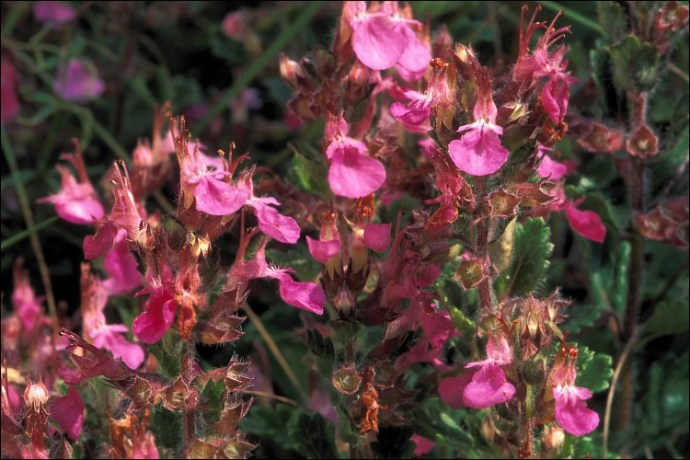 Teucrium chamaedrys calflora 0079