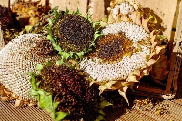 sunflower seeds 1705752_1280