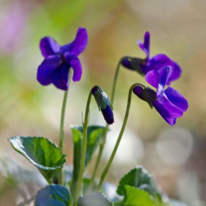 Viola odorata 006