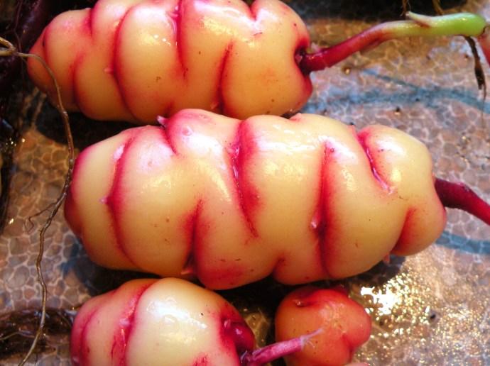 Oxalis tuberosa wiki free