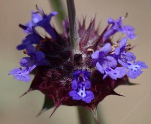 Salvia columbariae by Las Pilatas nursery