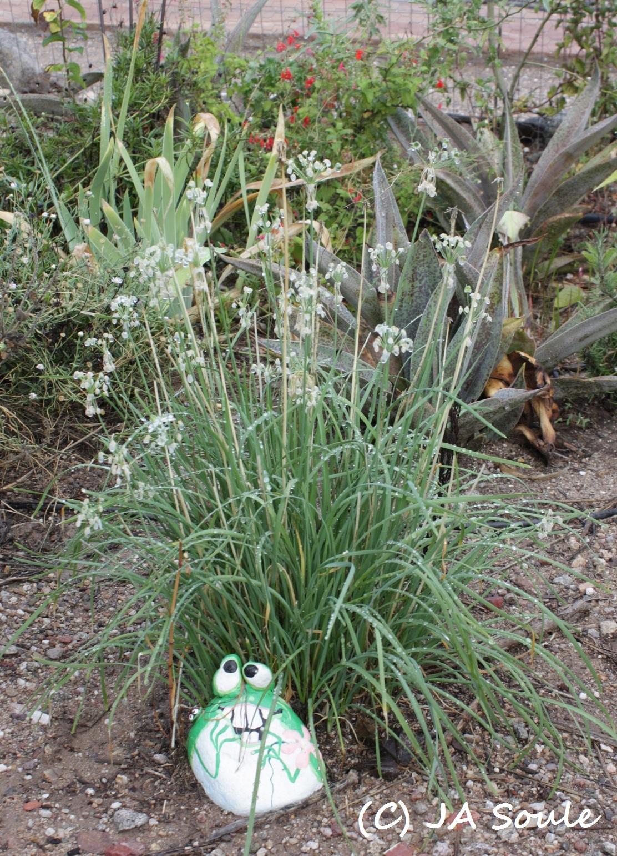 Allium tuberosum AMAP 4590 web