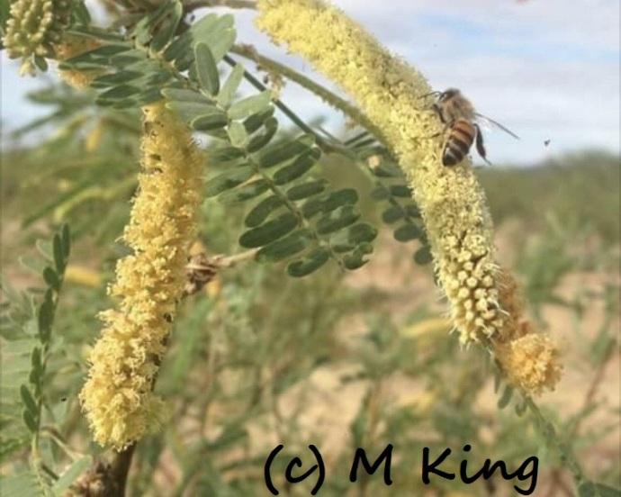 mesquite Monica King 605